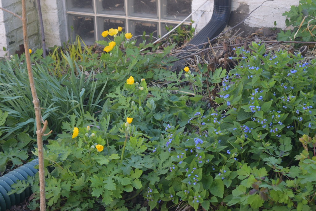 Great Forget-Me-Not grow alongside Celandine Poppy.