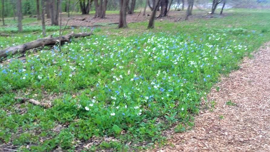 A mass of Virginia Bluebells along a woodland path.