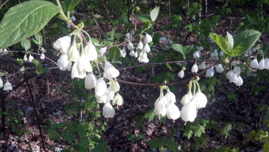 The dangly flowers of Carolina Silverbell look like they should be making a tinkly sound.