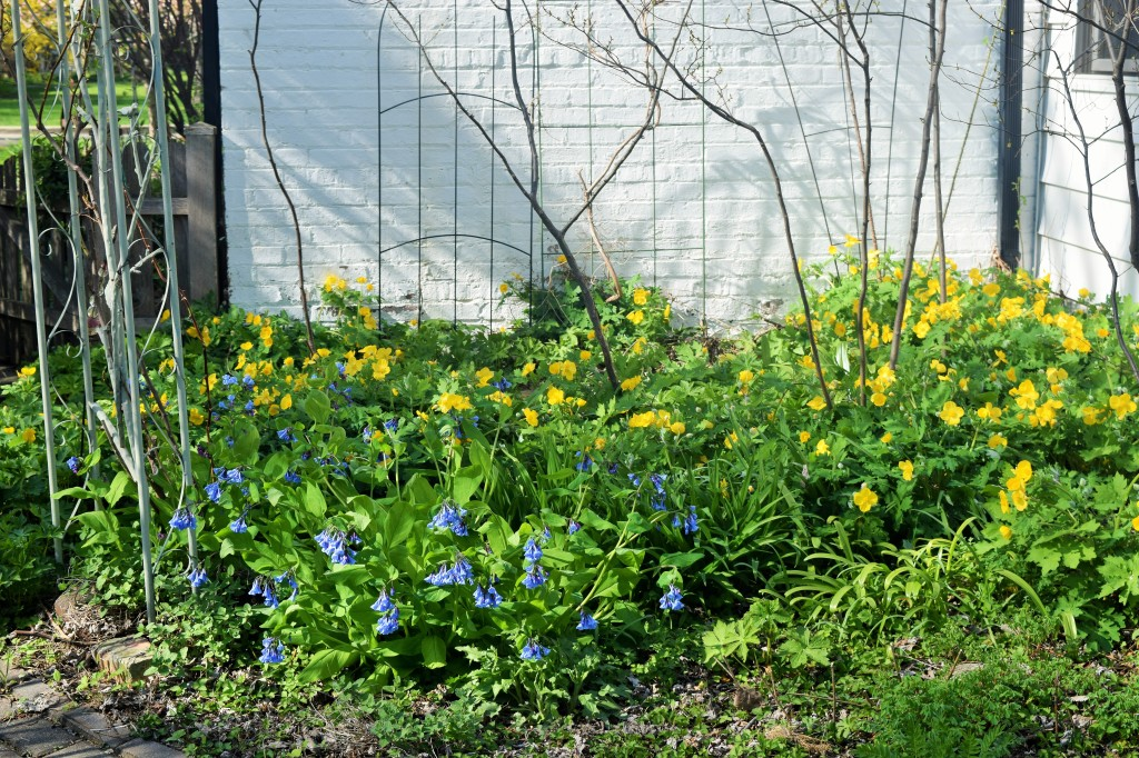 A mass of Celandine Poppies provide a backdrop for Virginia Bluebells.