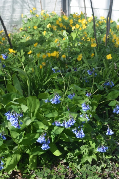 Virginia Bluebells and Celandine Poppies, another look.