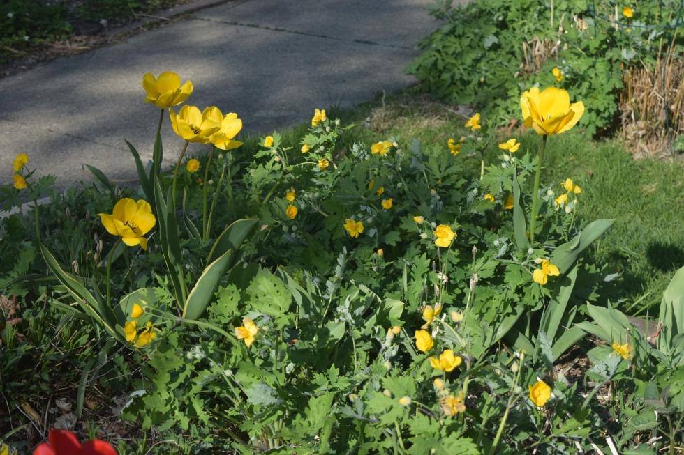 'Golden Parade' tulips with Celandine Poppy.