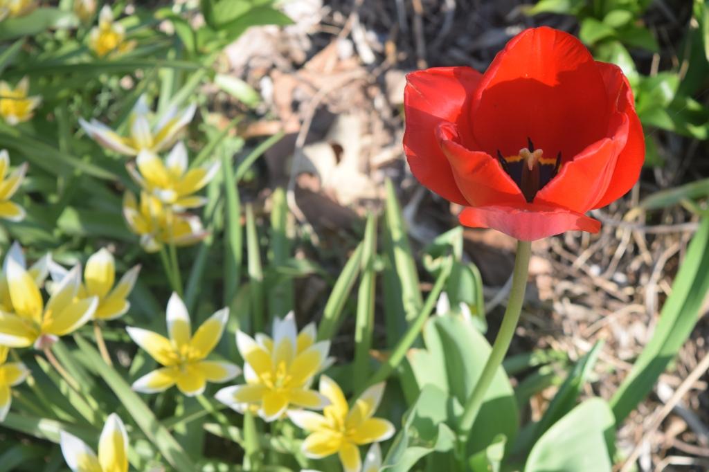 'Red Impression' with even more Tulipa dasystemon.