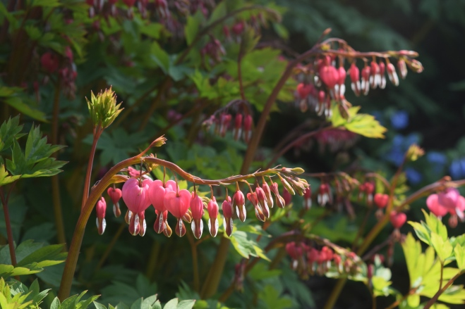 Bleeding Heart glowing in the late afternoon sun.