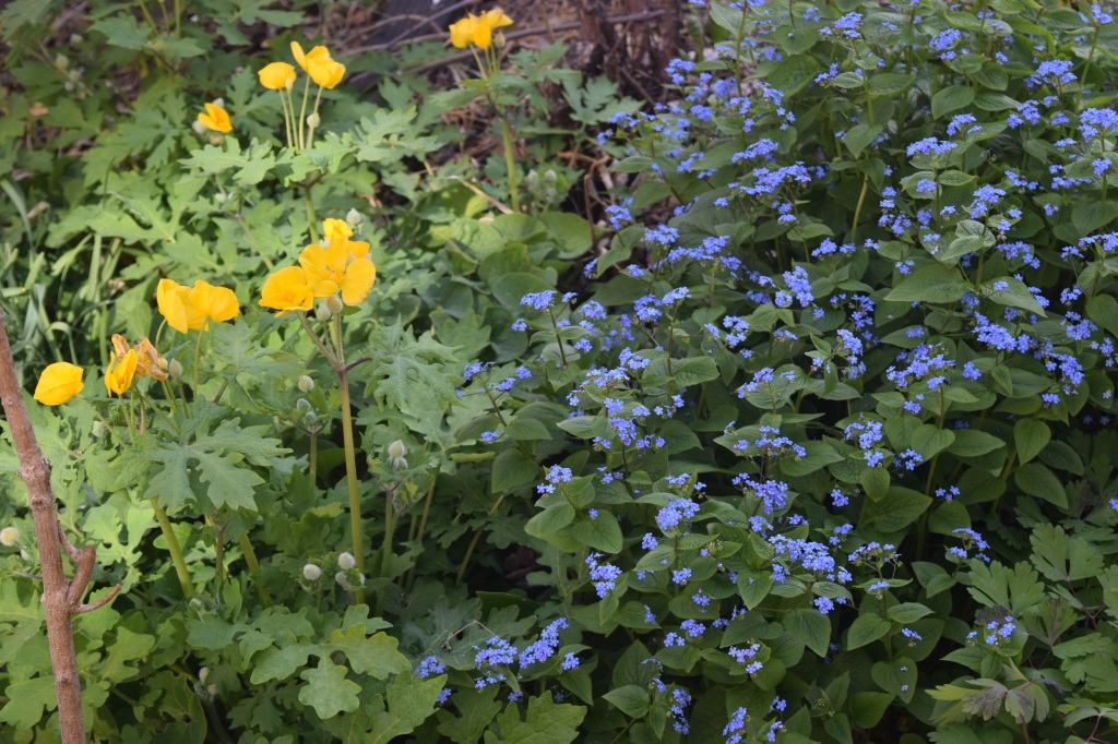 Celandine Poppies with Great Forget-Me-Not