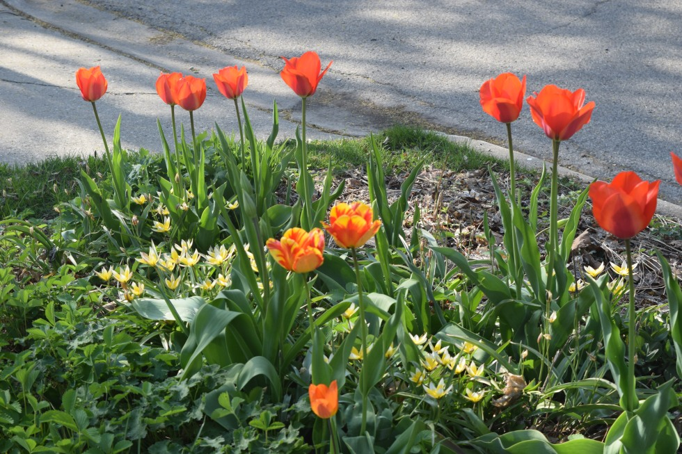 aklsdf with Tulipa dasystemon