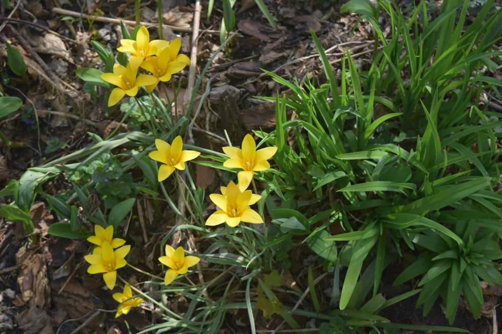 Tulipa clusiana, opening wide.