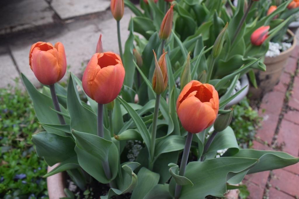Tulip 'Annie Schilder'
