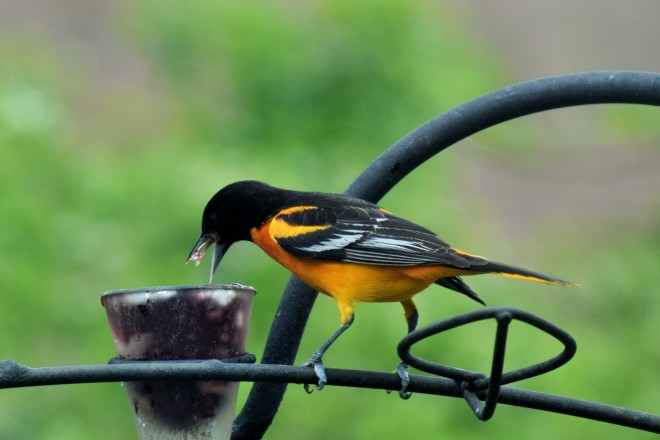 Male Baltimore Oriole ready to snarf down some jelly.