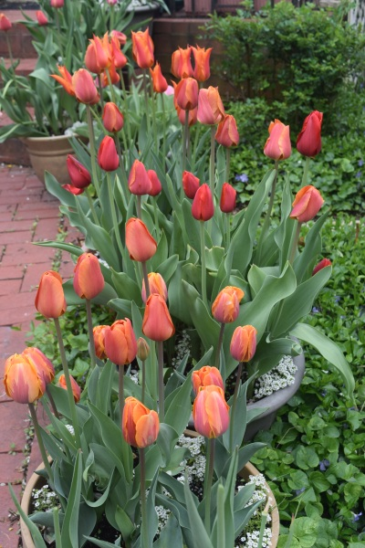 A closer look at the container tulips.