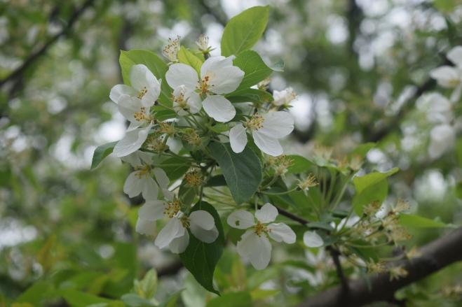'Donald Wyman' crabapple blossoms.
