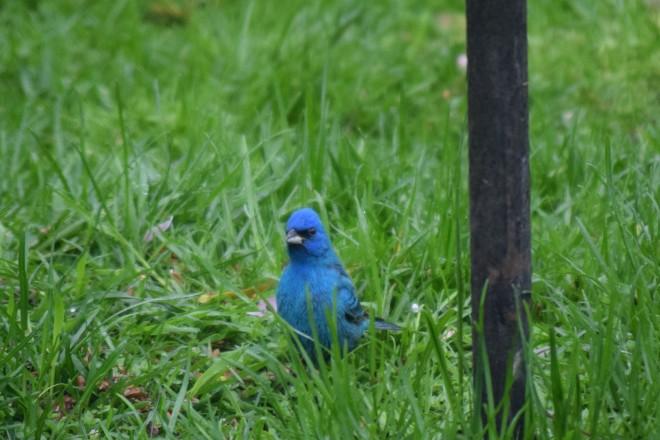 Indigo Bunting in the back garden last Sunday.