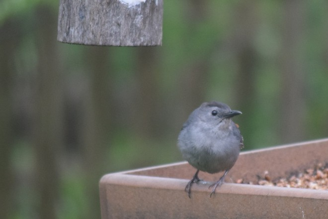 Gray Catbirds are not colorful, but they are kind of cute.