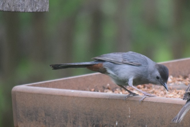 Gray Catbirds have a black cap and a reddish brown patch on their rump.