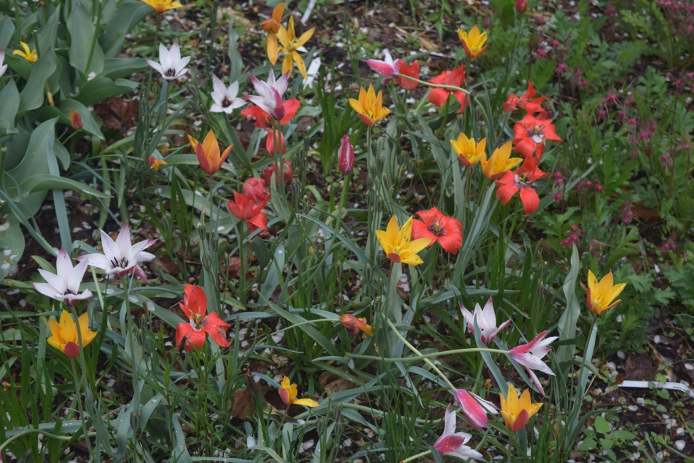 Tulipa 'Chrysantha' (yellow), 'Lady Jane' (white), and 'Red Gem'.
