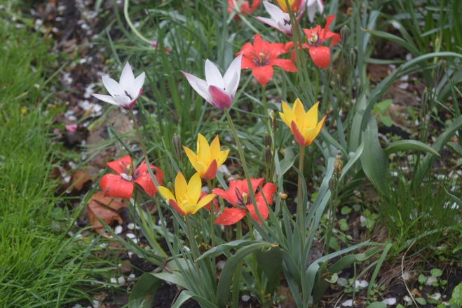2015-05-11 09.12.06 tulips
