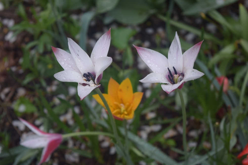 Tulips 'Lady Jane' and 'Chrysantha'