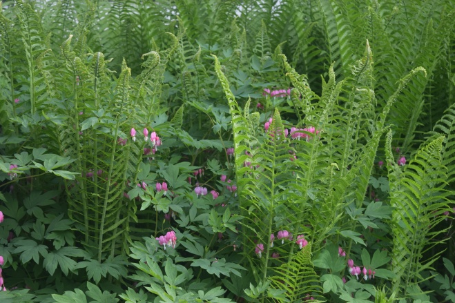 If Ostrich Ferns had elbows I would say they were elbowing their way to the front of the Bleeding Hearts.