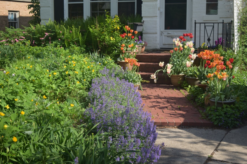 Nepeta 'Kit Cat' along the edge of the Driveway Border with the container tulips giving their grand finale.
