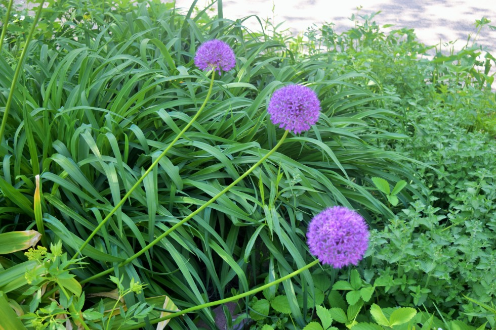 They say Allium 'Globemaster' doesn't need staking, but these three say there are exceptions to every rule.