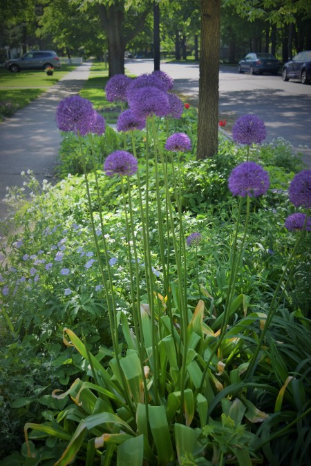 Allium 'Globemaster' in the Parkway Bed.