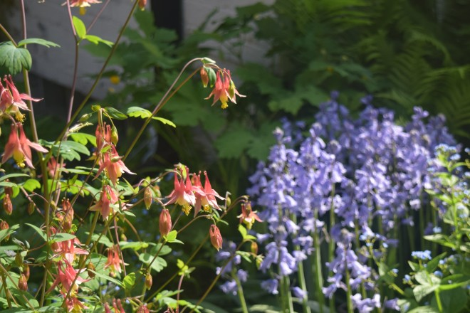 Wild Columbine dance in the breeze above a patch of Spanish Bluebells.