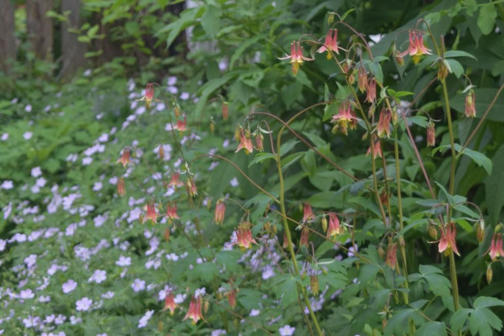 Wild Columbine with Wild Geranium in the background.