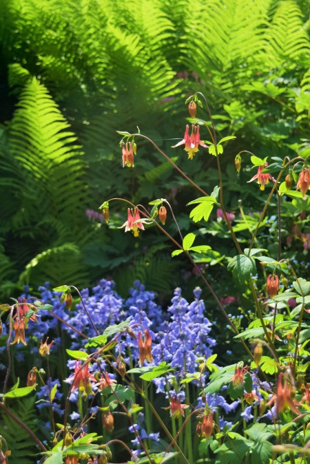 Columbine with Spanish Bluebells and Ostrich Ferns.