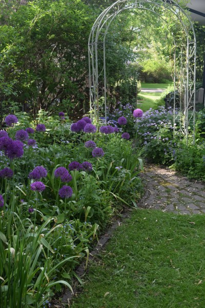 A drift of Allium 'Purple Sensation' in the back garden.