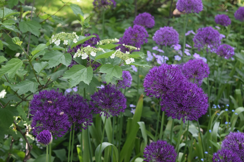 Allium 'Purple Sensation' with flowers of Cranberrybush Viburnum.