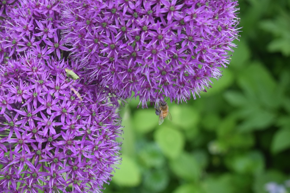 Alliums are popular with bees and other pollinators.