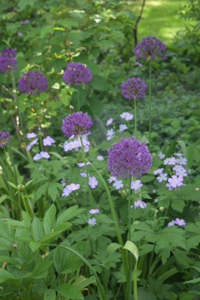 Alliums with Wild Geranum.