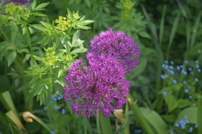 Allium 'Purple Sensation' with Golden Alexander.