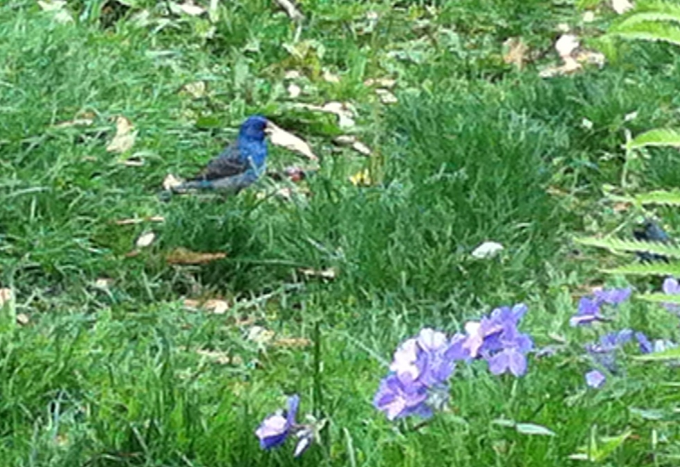 Three years ago: Indigo Bunting, or tiny blue Sasquatch.