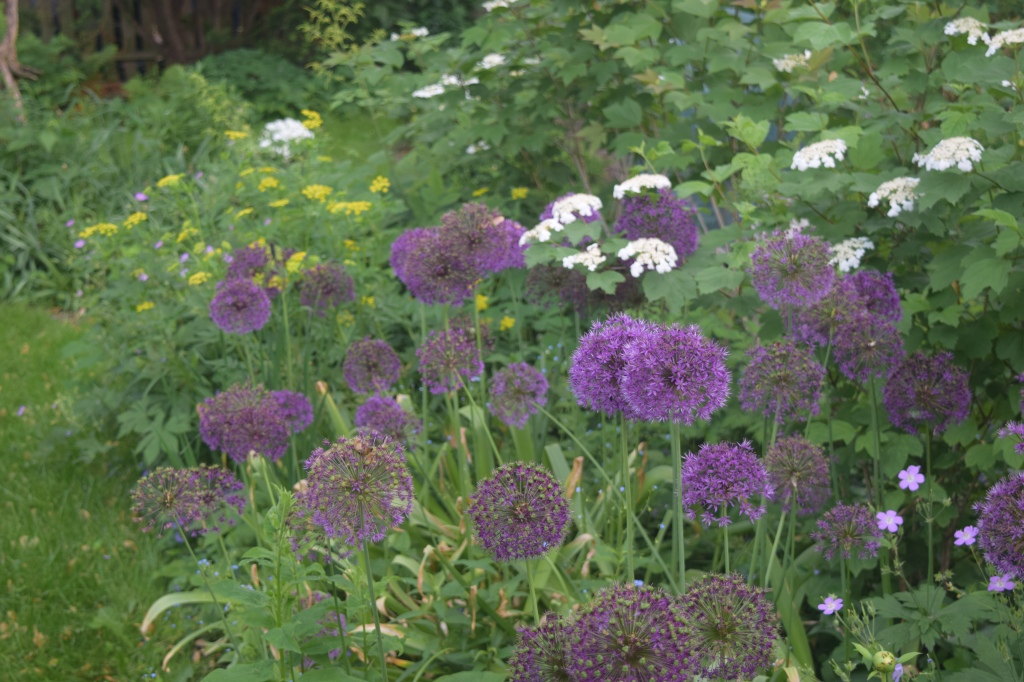The garden survived without me. Fading Alliums still bloom with Golden Alexander and Cranberrybush Viburnum.