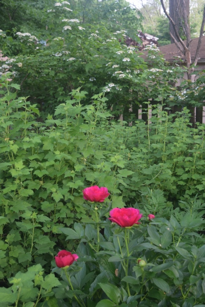 Peony 'America' with Wild Currant and Cranberrybush Viburnum in the background.