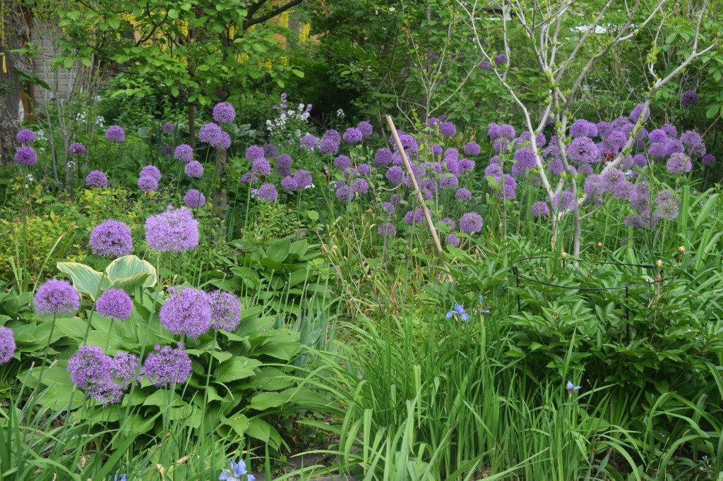 Alliums were abundant in the gardens we saw.
