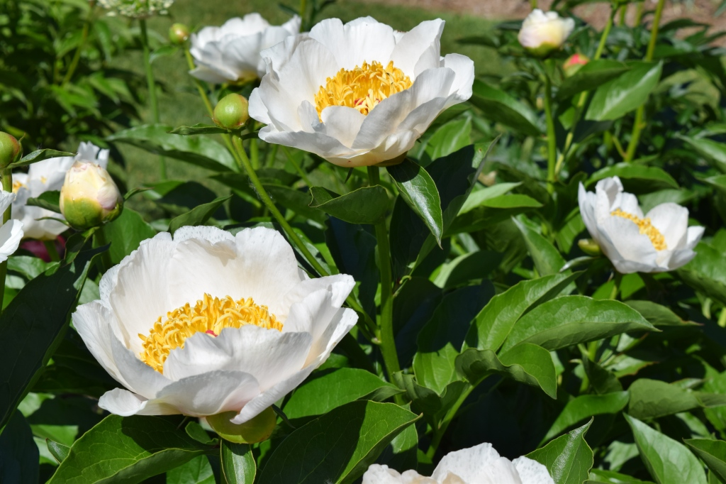 Canadian Peonies, which have clearly been enhanced through the use of the dark arts.