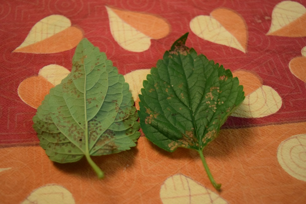 Infected Anise Hyssop leaves.