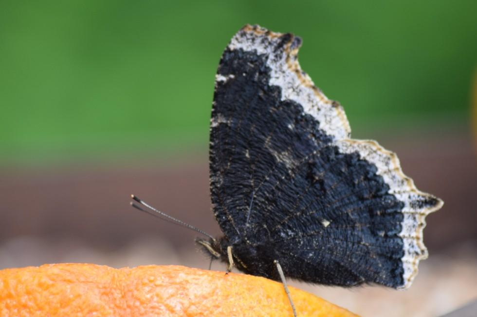 Mourning Cloak feeding on overripe orange.
