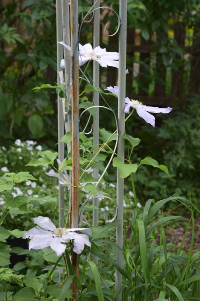 Clematis 'Ice Blue' on our back arbor.