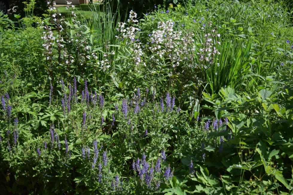 Salvia growing in front of 'Husker Red' Penstemon.