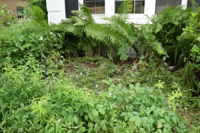 The remaining Ostrich Ferns in the foundation bed.