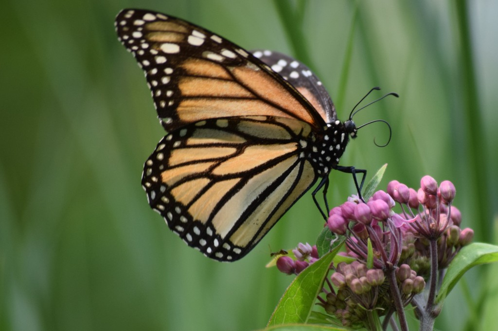 A Monarch butterfly unfurls its proboscis so it can start feeding.