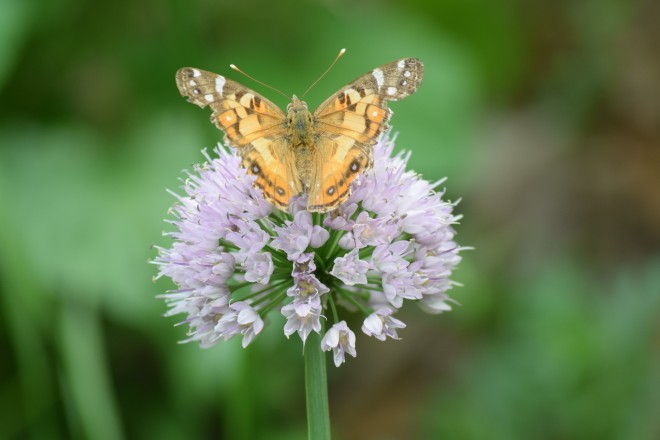 Unknown butterfly on 'Summer Beauty'.