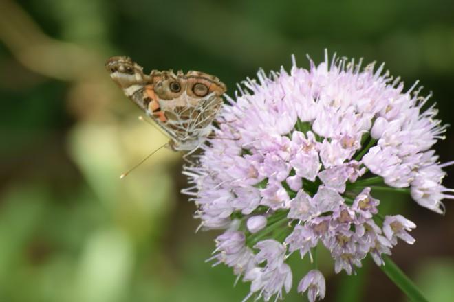 DSC_0019 butterfly