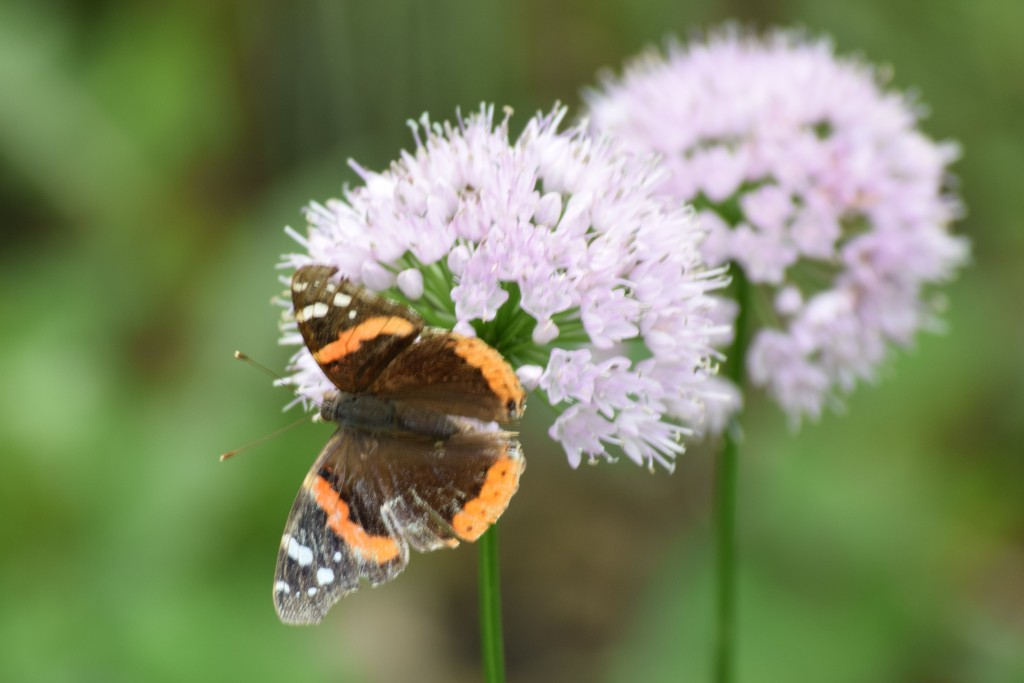Red Admiral on'Summer Beauty' Allium.