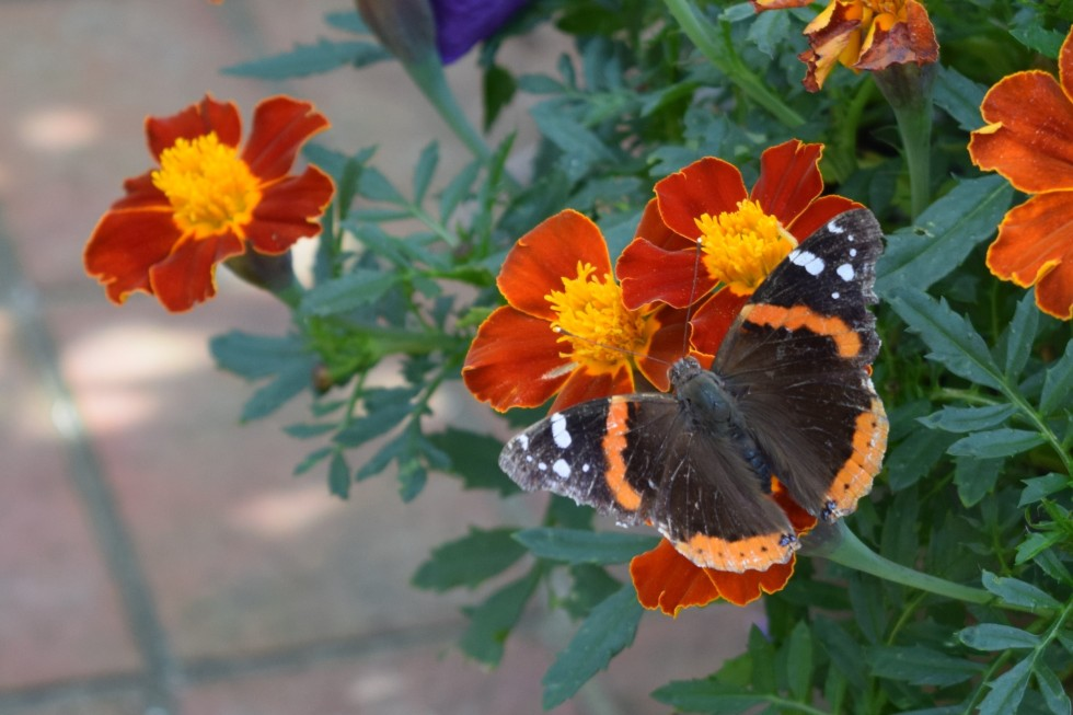 Red Admiral on Marigolds.