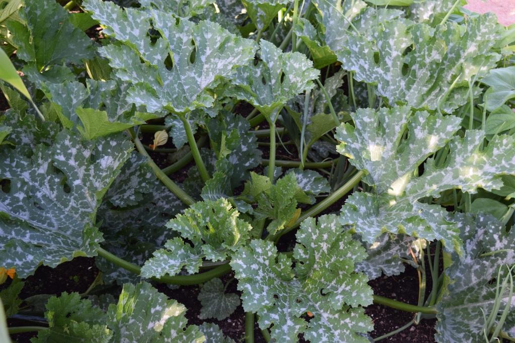 DSC_0158 variegated zucchini