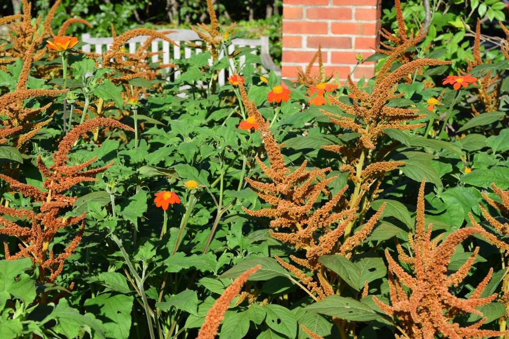 DSC_0160 cbg tithonia and amaranth